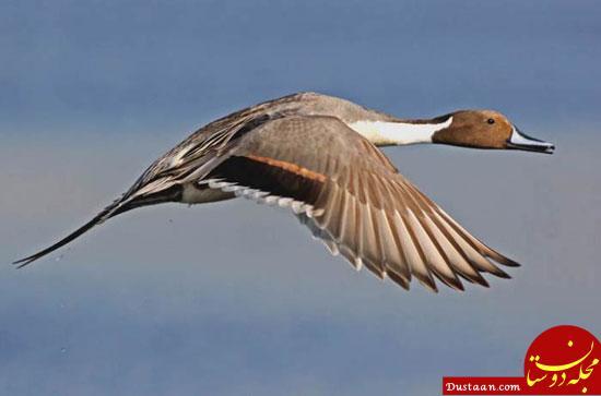 www.dustaan.com دوربین های کنترل سرعت ثبت کردند: سرعت غیرمجاز یک اردک!