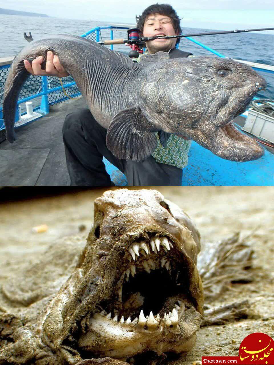 www.dustaan.com شکار بزرگترین گرگ ماهی جهان به طول 2 متر در ژاپن! +تصاویر