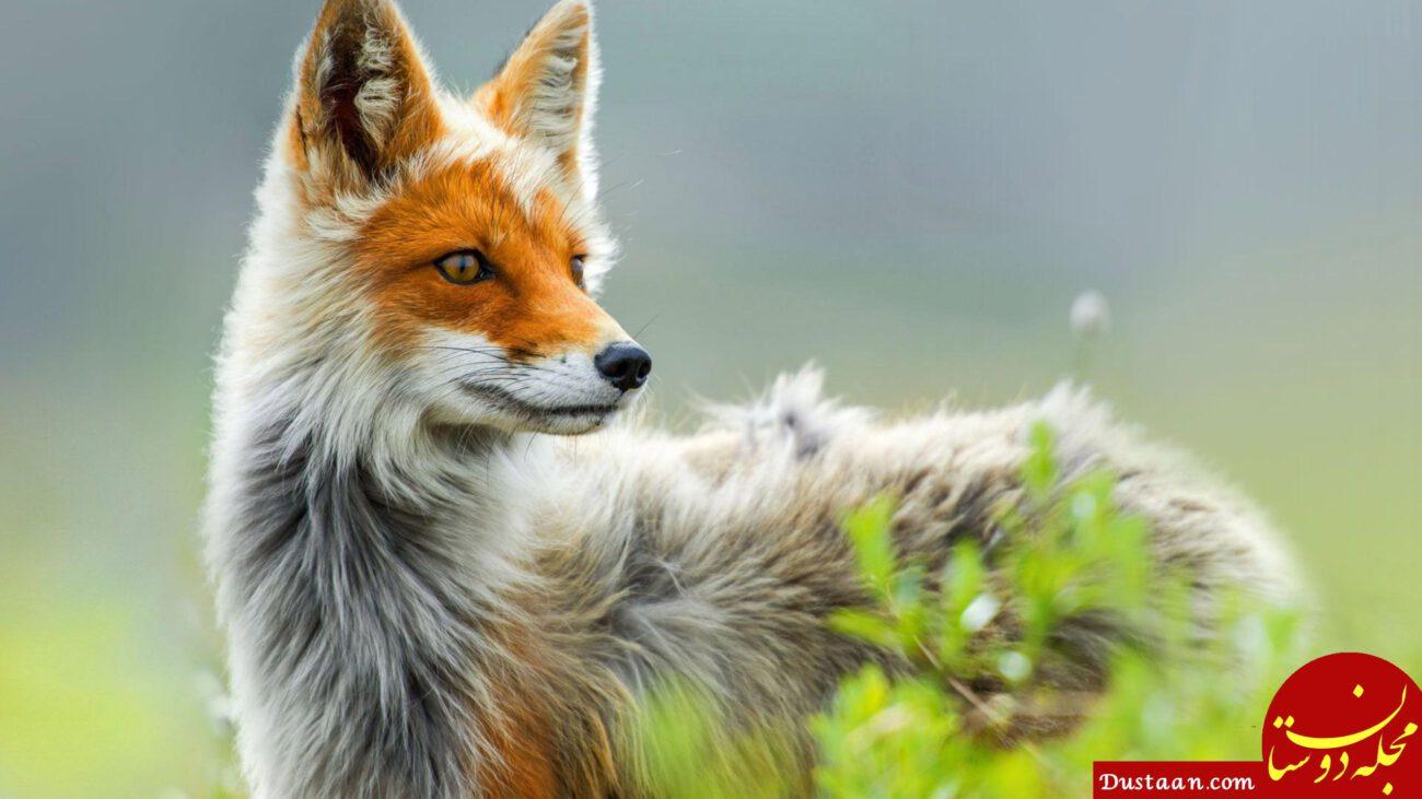 www.dustaan.com این حیوان مکار توانایی تولید 40 صدای مختلف را دارد! +عکس