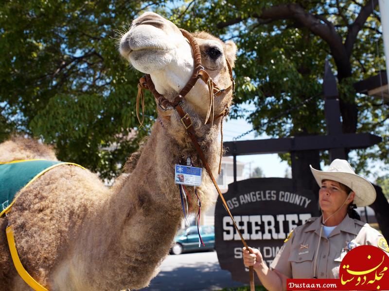 Highest-ranking camel