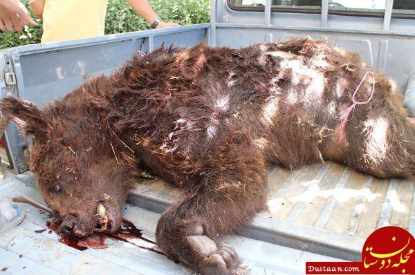 www.dustaan.com شکارچیان خرس در فارس دستگیر شدند