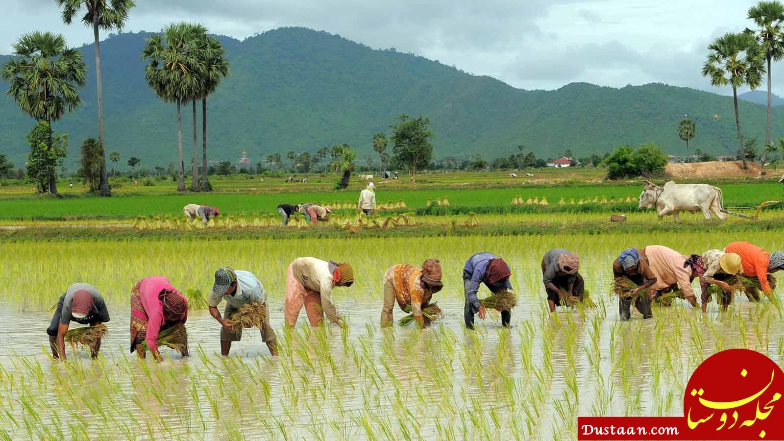 www.dustaan.com فقط 2 استان شمالی کشور مجاز به کشت برنج هستند