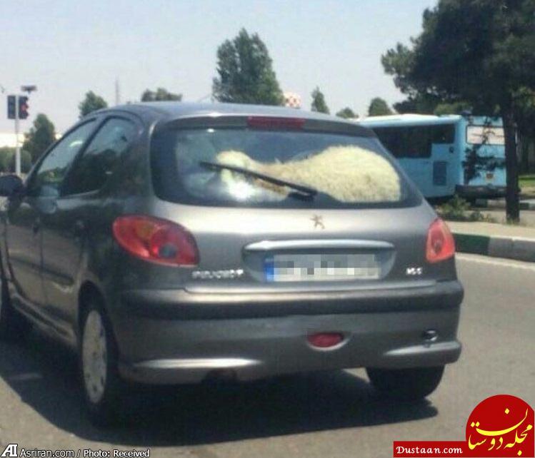 www.dustaan.com یک گوسفند در حال 206 سواری در خیابان! +عکس