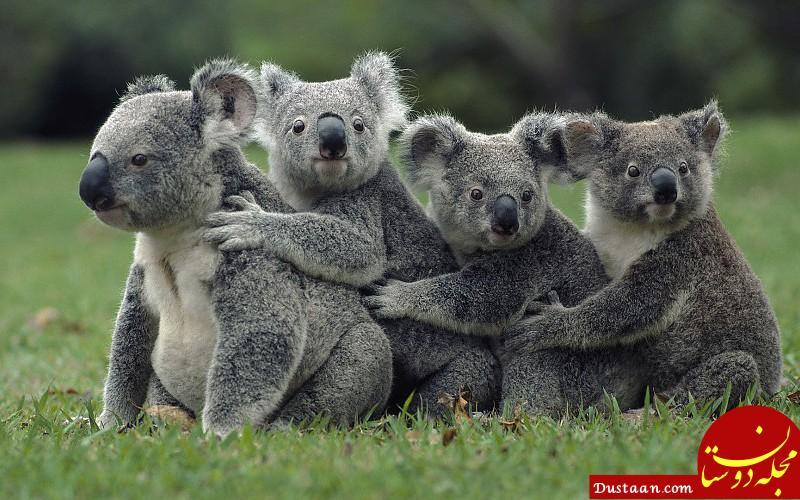 www.dustaan.com جانوری که مثل انسان اثر انگشت دارد! +عکس