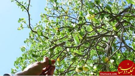 www.dustaan.com مرگبارترین درخت جهان را بشناسید