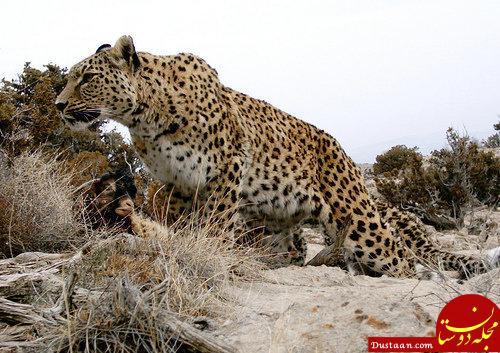 www.dustaan.com شکار پلنگ ایرانی از علاقه مندی های شکارچیان خارجی!