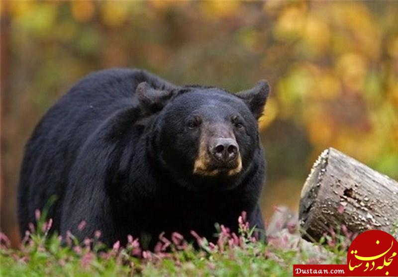 www.dustaan.com حمله خرس قهوه ای به یک جوان در مشگین شهر