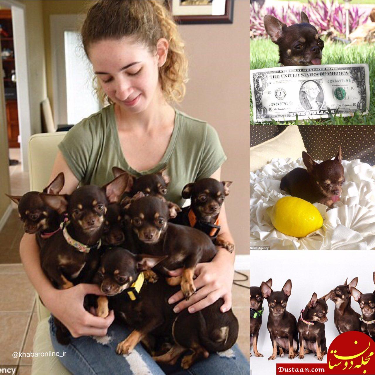 www.dustaan.com کوچک ترین سگ دنیا با 10 سانتی متر قد! +عکس