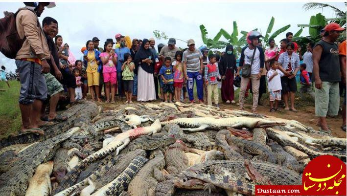www.dustaan.com کشتار 300 کروکودیل در اندونزی توسط اهالی روستا! +عکس