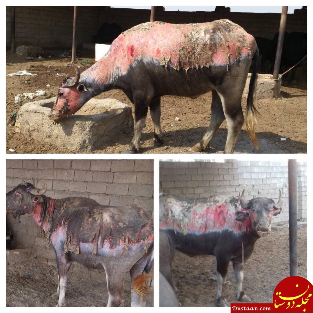 www.dustaan.com تصویر دلخراش گاومیش های اسیر آتش