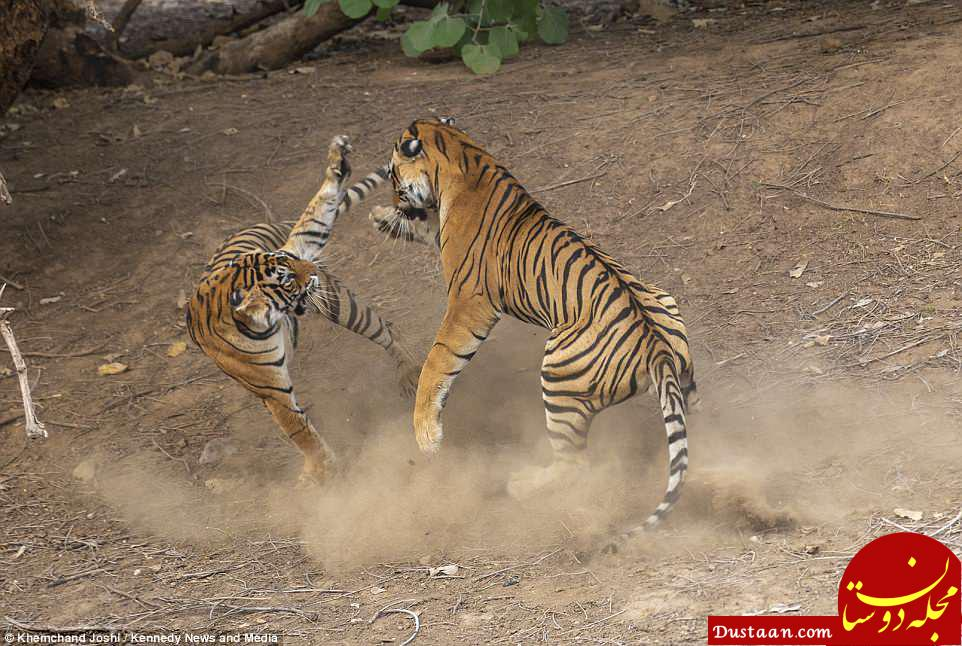 www.dustaan.com تصاویر نفس گیر از جنگ دو ببر نر و ماده در پارک جنگلی هند