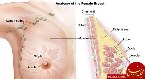 www.dustaan.com آناتومی سینه زنان را بشناسید