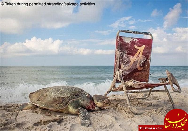 www.dustaan.com لاکپشت در خطر انقراض، قربانی صندلی ساحلی +تصاویر