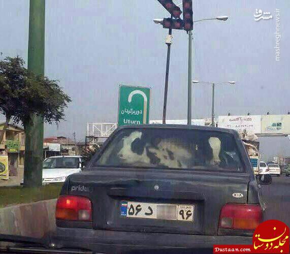www.dustaan.com حمل عجیب 2 گوساله با پراید! +عکس