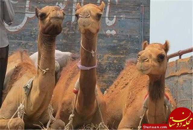www.dustaan.com کشف شترهای قاچاق میلیاردی در شهرستان بردسکن