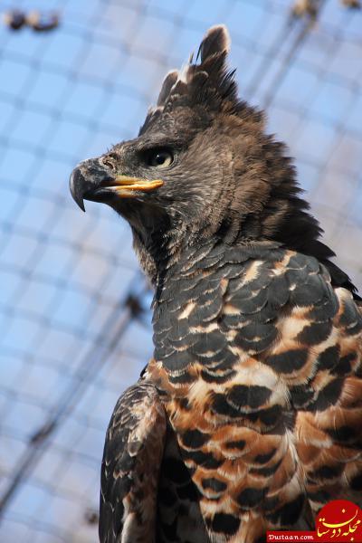 www.dustaan.com تنها پرنده ای که انسان را شکار می کند! +عکس