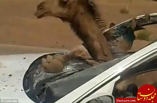 صحنه ای عجیب از تصادف یک خودرو با شتر! +عکس
