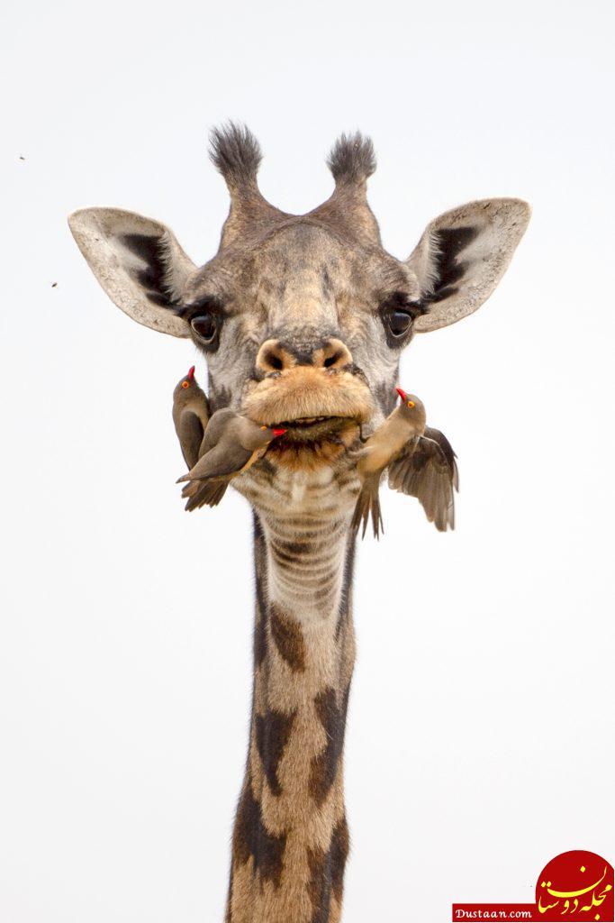www.dustaan.com مسواک های زنده حیوانات! +عکس
