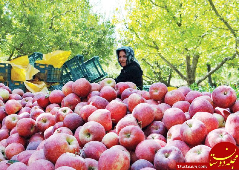 www.dustaan.com صادرات سیب ایران 10 برابر شد