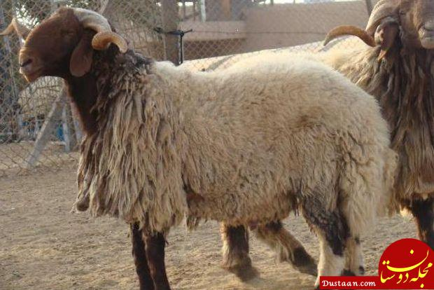 www.dustaan.com برق 10 راس گوسفند را در بردسکن تلف کرد