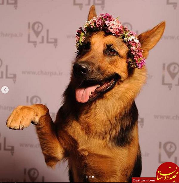 www.dustaan.com کارهای جالب یک سگ در اینستاگرام، برای جذب فالوور! +عکس