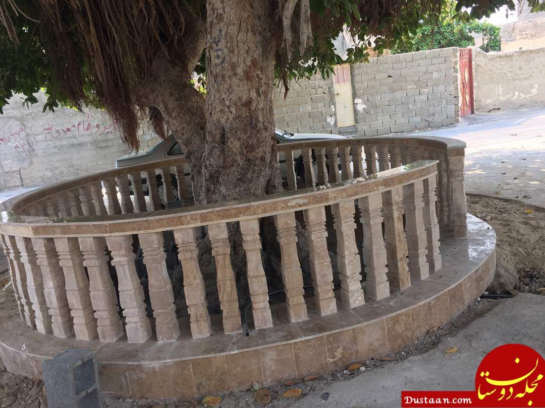 www.dustaan.com اقدام شهرداری عسلویه برای نگهداری از درخت 150 ساله +عکس