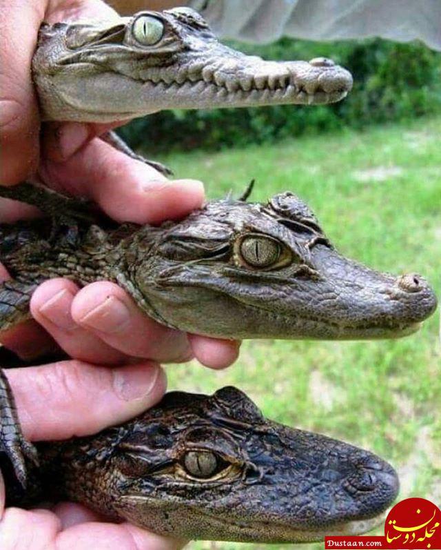 www.dustaan.com تفاوت های ظاهری کروکودیل، کیمن، و تمساح