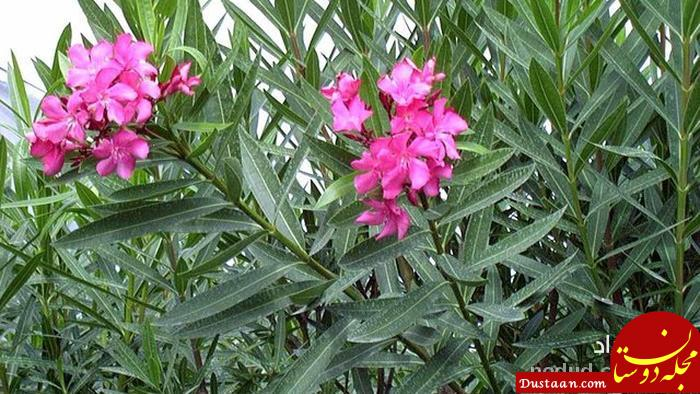 www.dustaan.com این گل دیوانه است! +عکس
