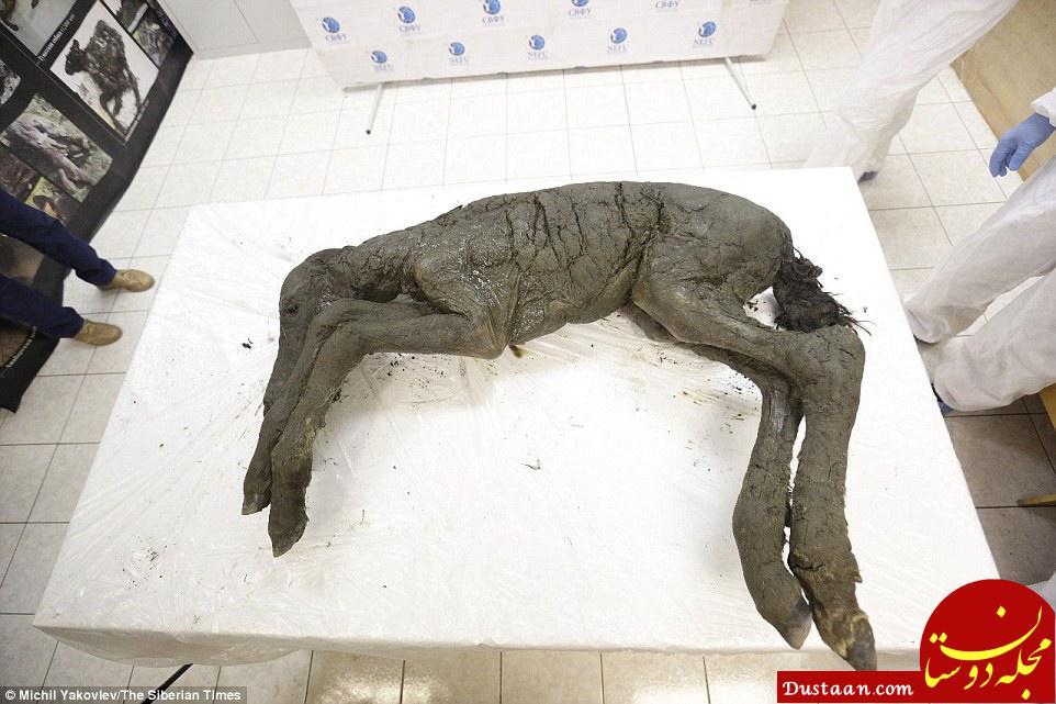 www.dustaan.com دانشمندان حیوان 40 هزارساله را با شبیه سازی زنده می کنند؟ +تصاویر