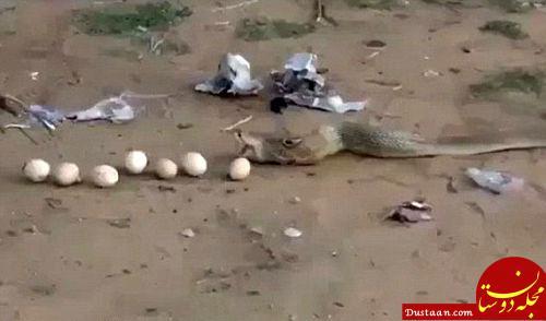 www.dustaan.com مار شکارچی تخم مرغ های مرد روستایی را پس داد! +عکس