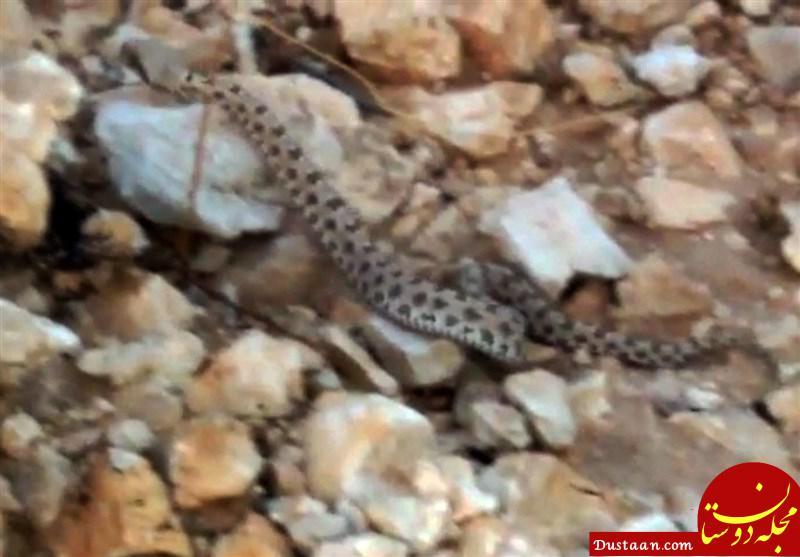 www.dustaan.com تصویربرداری از افعی شاخ دار در فارس +عکس