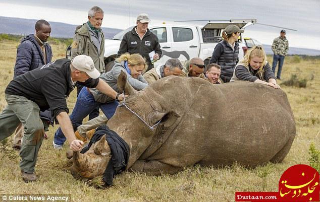www.dustaan.com تلاش های دانشمندان برای حفاظت از کرگدن های آفریقایی +تصاویر
