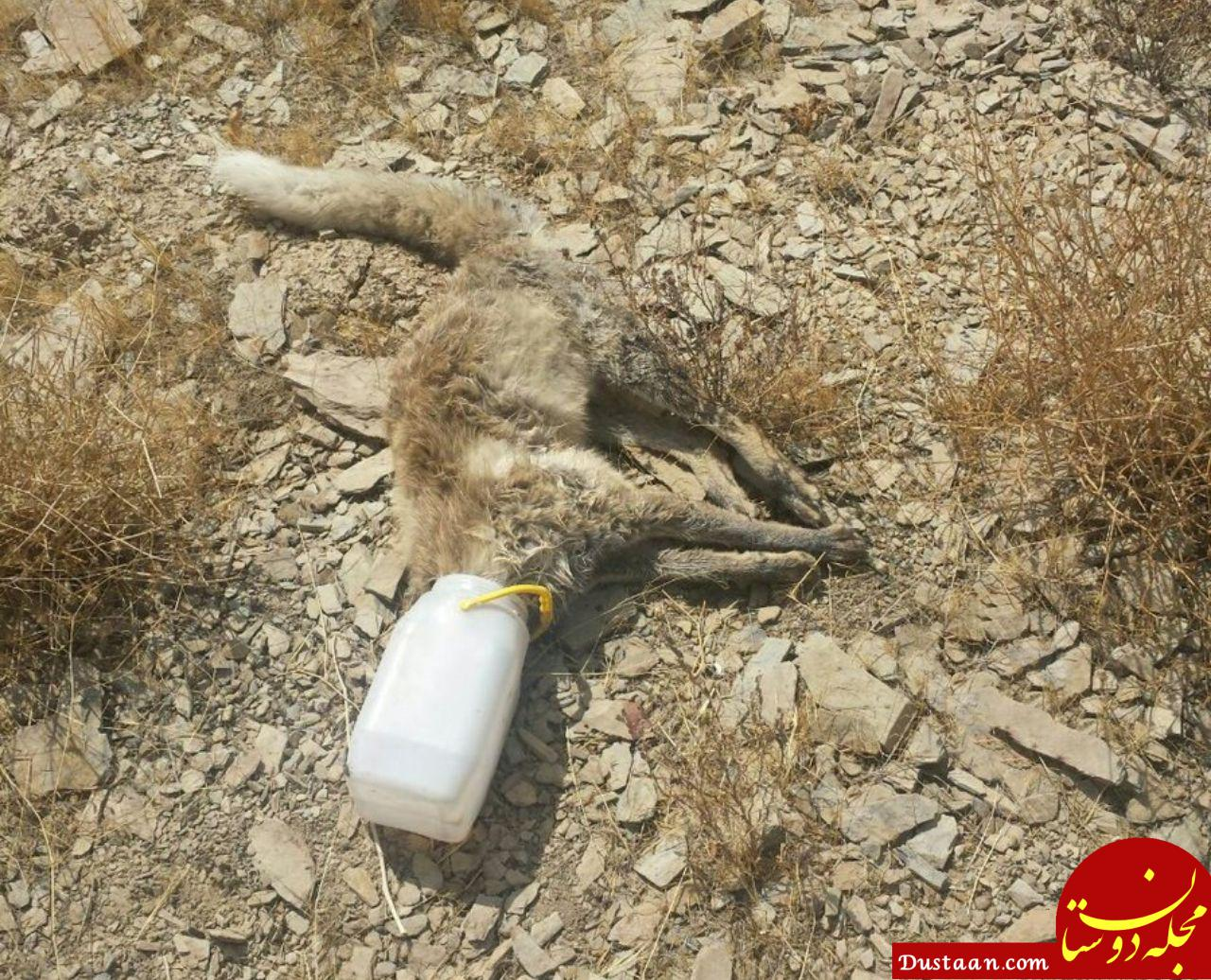 www.dustaan.com تلف شدن روباه به دلیل سهل انگاری! +عکس