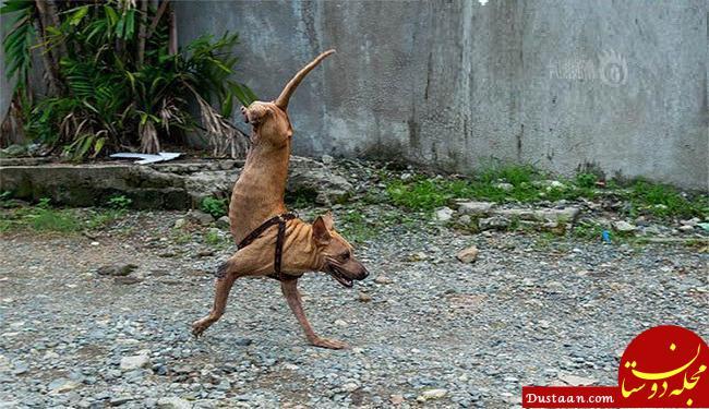www.dustaan.com سگی که به طرز جالبی روی دوپا راه می رود! +تصاویر