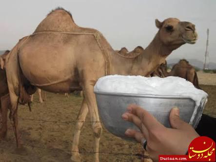 www.dustaan.com شیر شتر | خواص درمانی شیر شتر | شیر شتر برای چه کسانی مضر است؟
