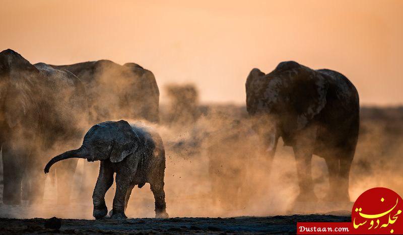 www.dustaan.com دوش گرفتن فیل ها با گرد و خاک در عکس روز نشنال جئوگرافیک