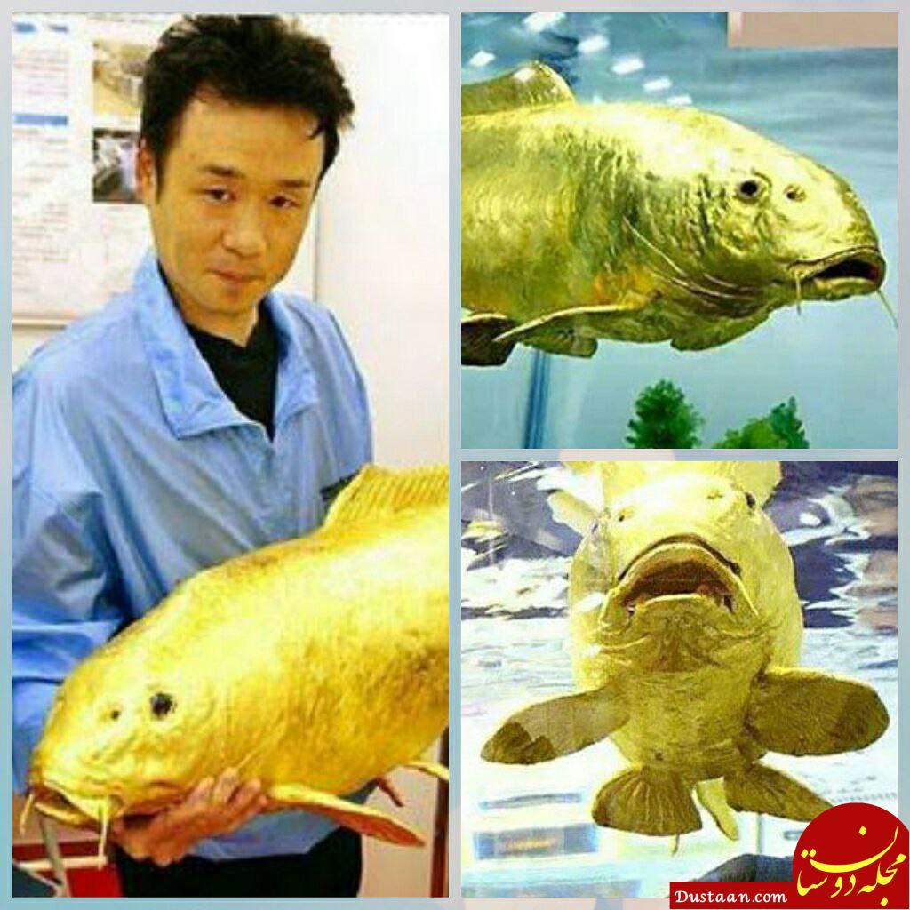 www.dustaan.com ماهی شگفت انگیز با طلای 24 عیار! +عکس
