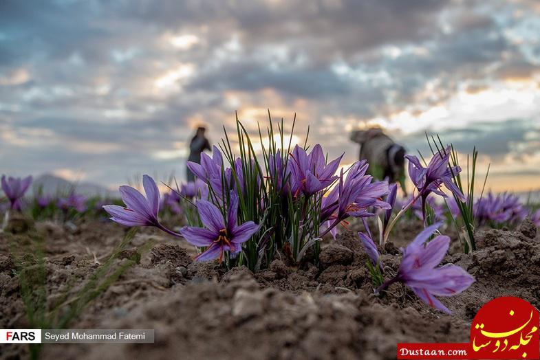 www.dustaan.com مراسم برداشت طلای سرخ در استان خراسان! +تصاویر