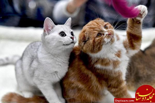 www.dustaan.com برگزاری فشن شو گربه ها در تهران
