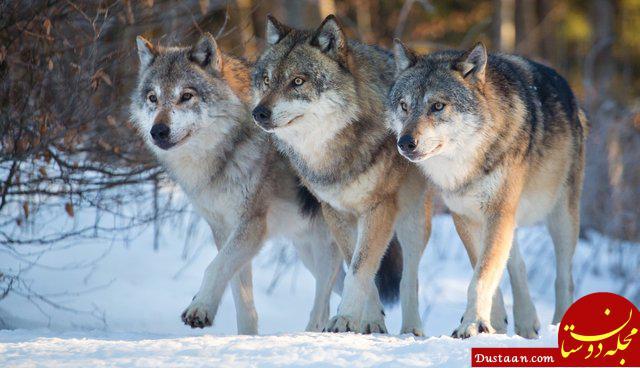 www.dustaan.com گرگ های خاکستری آلاسکا، بزرگترین گونه های گرگ در جهان