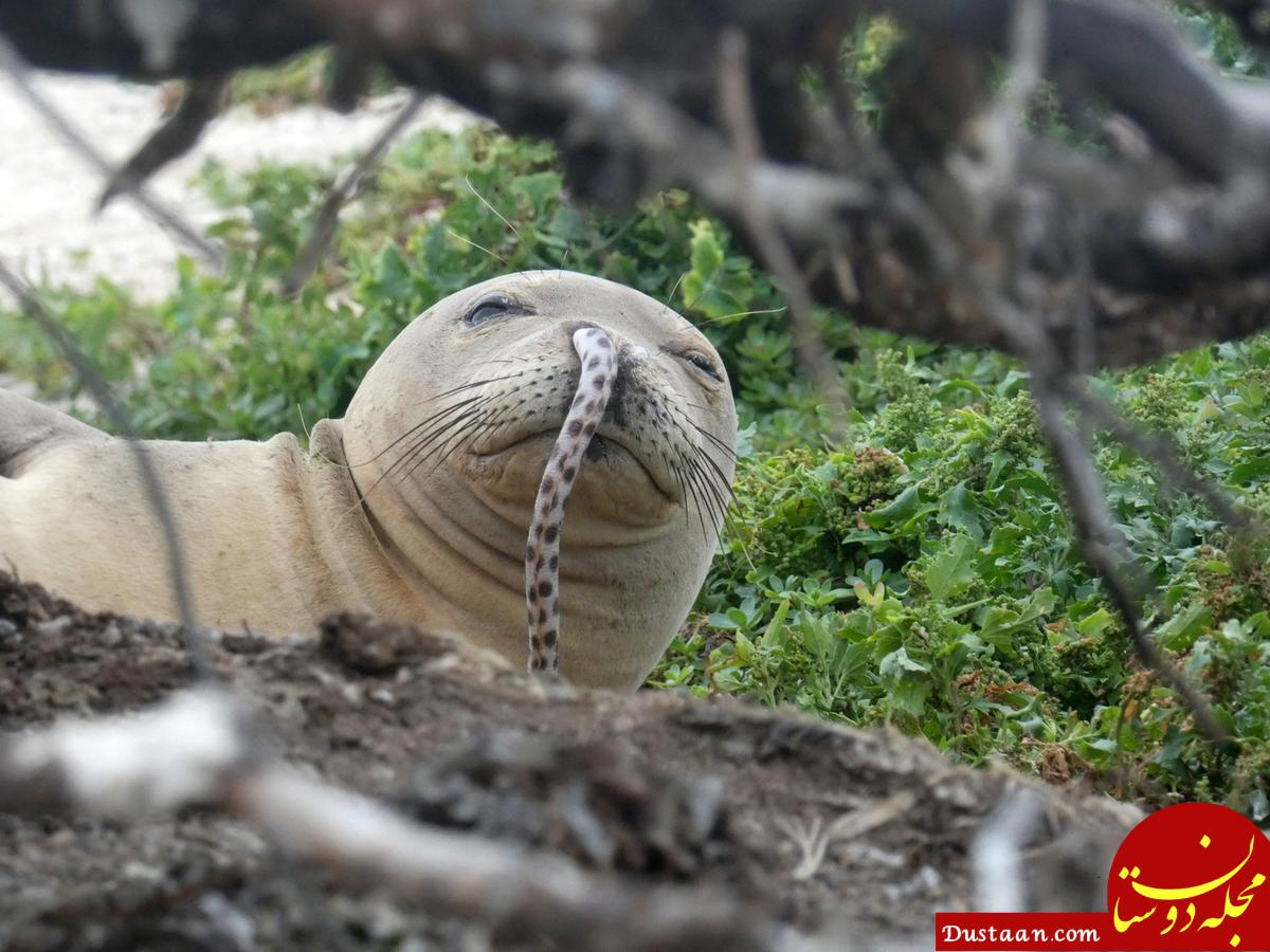 www.dustaan.com مار خالدار در بینی فک دریایی چه می کند؟ +عکس