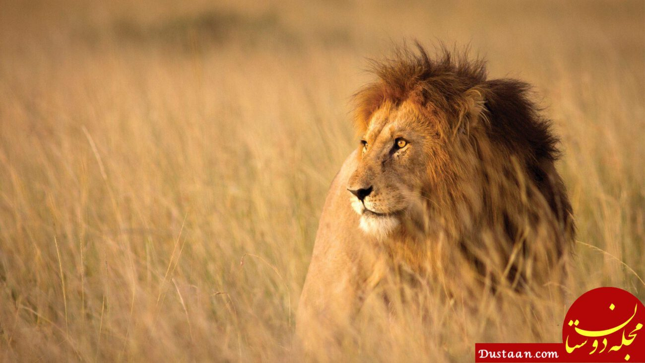 https://d1ljaggyrdca1l.cloudfront.net/wp-content/uploads/2017/04/lion-between-savanna-grass-in-africa-e1528954092594.jpg