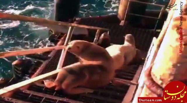 www.dustaan.com حضور شیرهای دریایی در سکوی نفتی سلمان! +عکس