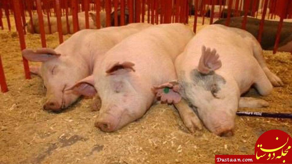 www.dustaan.com زن 56 ساله طعمه خوک ها شد