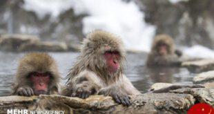 اخبارگوناگون,خبرهای گوناگون ,آبتنی میمون ها