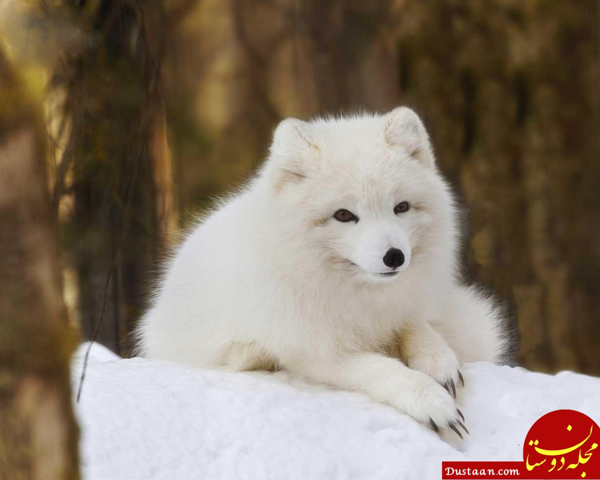 www.dustaan.com روش روباه های قطبی برای زندگی در دمای منفی 70 درجه! +عکس