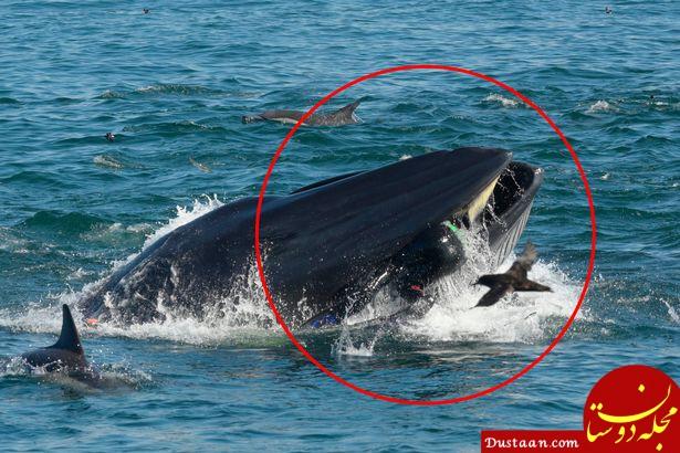 www.dustaan.com لحظه ای که غواص جوان توسط نهنگ غول پیکر بلعیده شد! +عکس