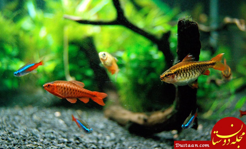 www.dustaan.com هشدار درخصوص ماهی های «زبرا»!