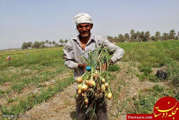 www.dustaan.com پشت پرده گرانی ۱۰ برابری پیاز