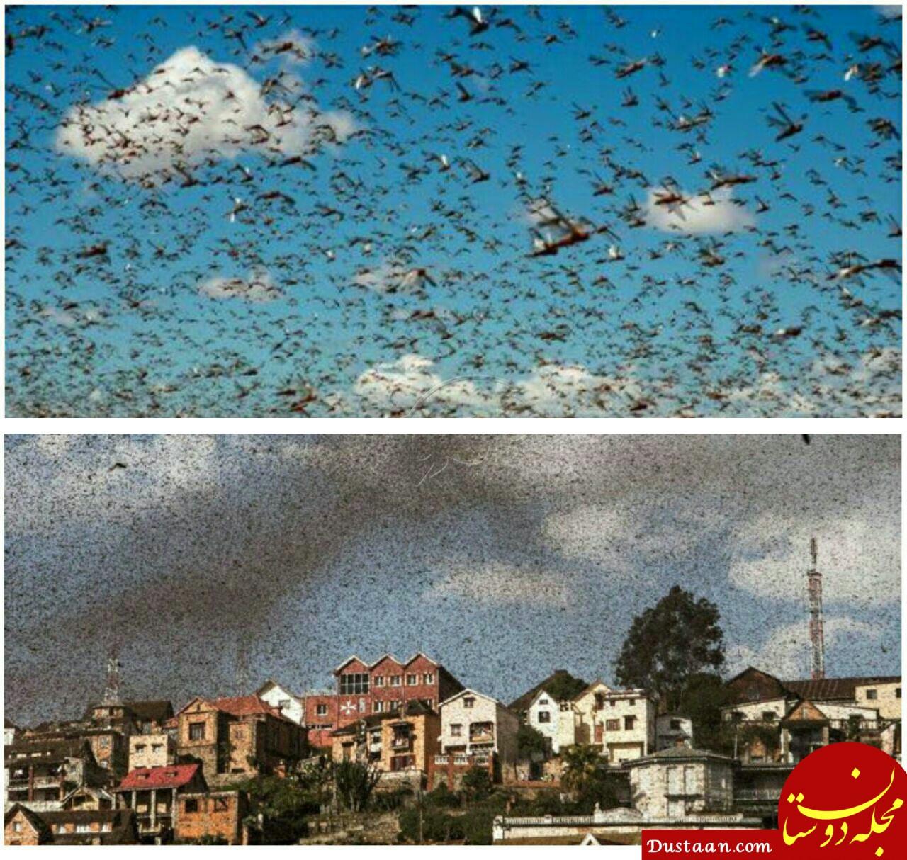 www.dustaan.com بزرگترین حمله تاریخ حشرات به یک شهر! +عکس